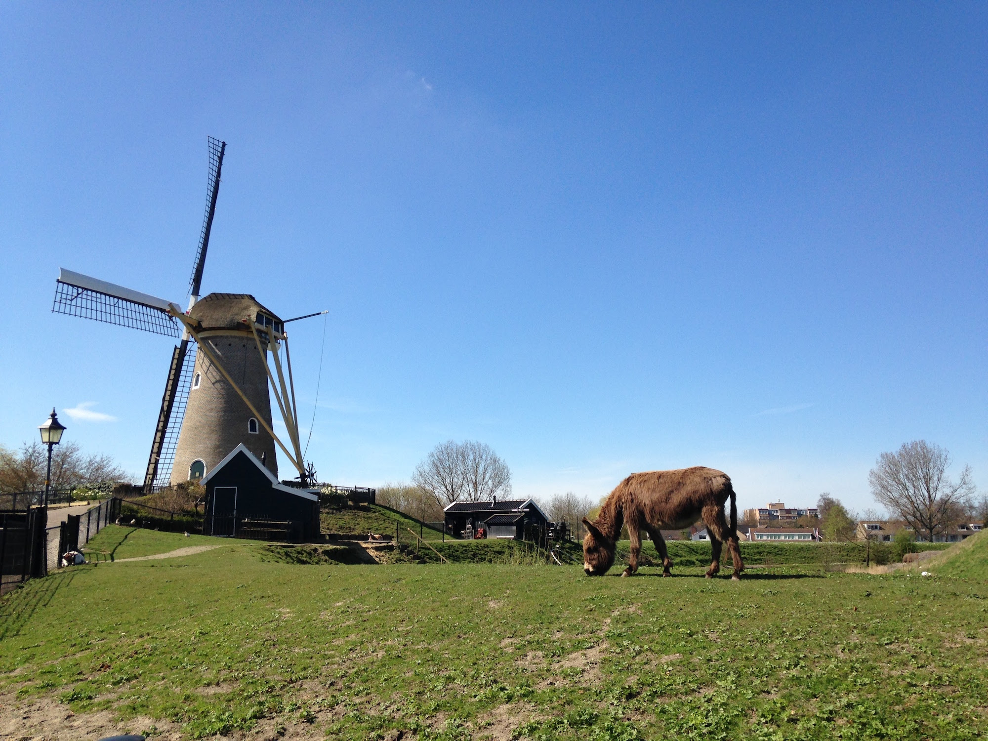 The Donkey at the Windmill